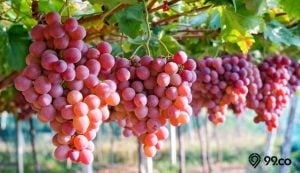 manfaat anggur merah