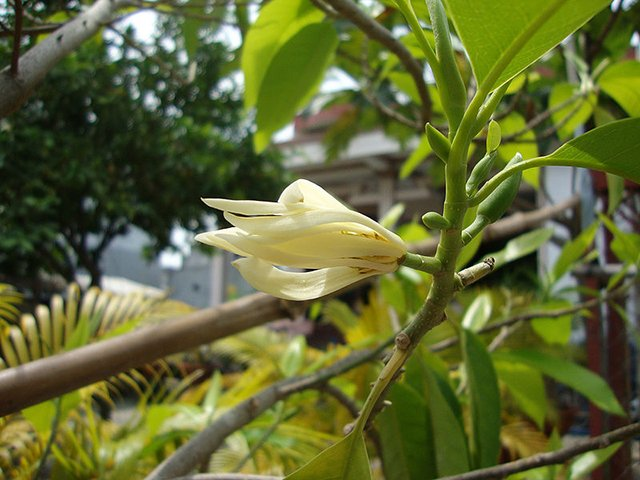 Mitos Manfaat Bunga Kantil Untuk Kesehatan Kecantikan