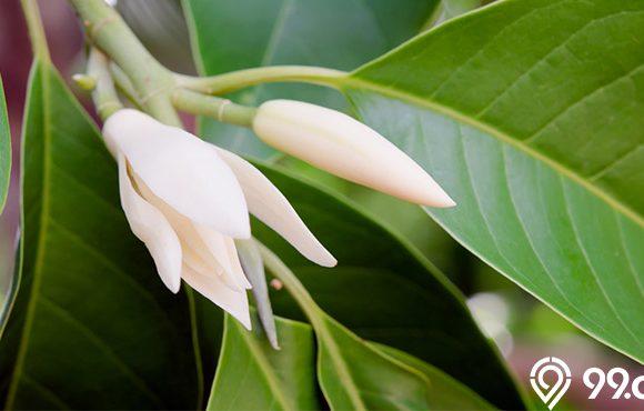 manfaat bunga kantil