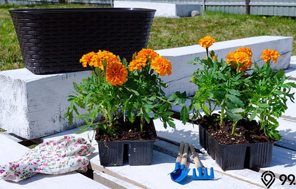 manfaat bunga marigold