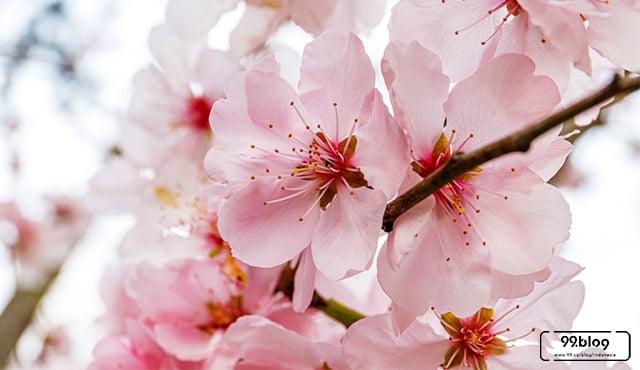 manfaat bunga sakura