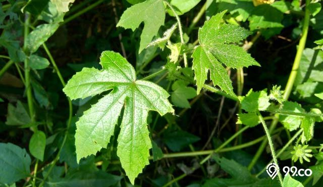 manfaat daun gedi