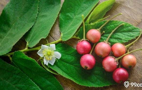 manfaat daun kersen
