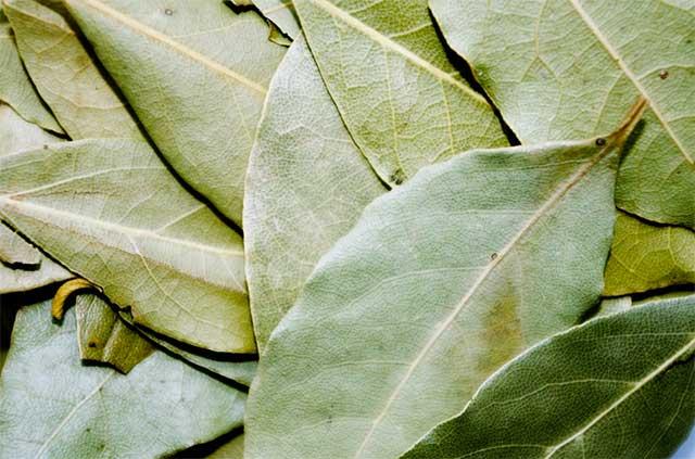 manfaat daun salam hijau
