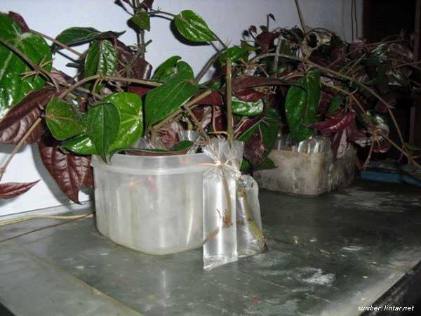 cara menanam daun sirih
