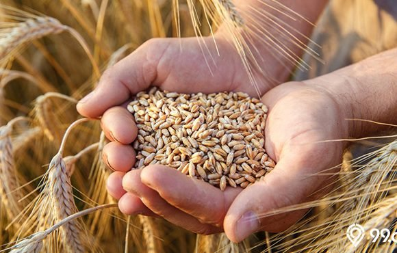 butirn gandum tangan