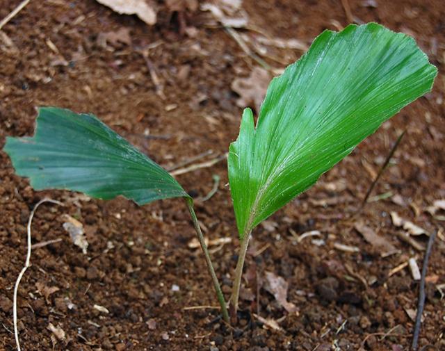 manfaat pohon aren