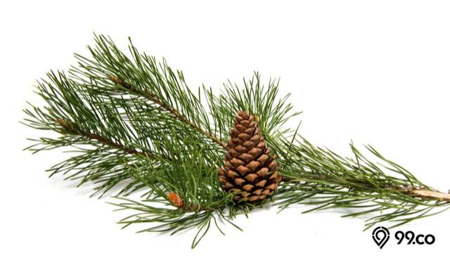 manfaat pohon pinus