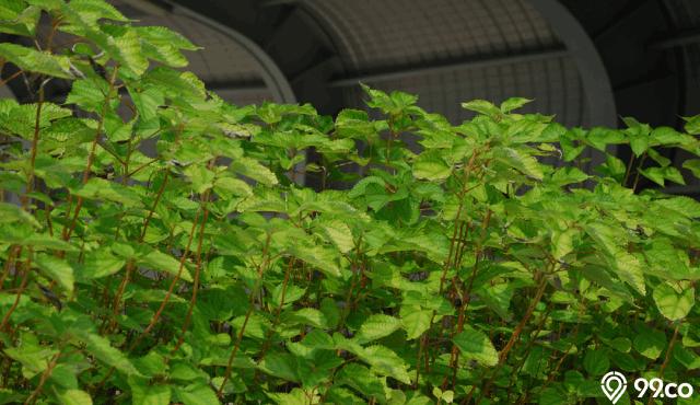 manfaat tanaman rami