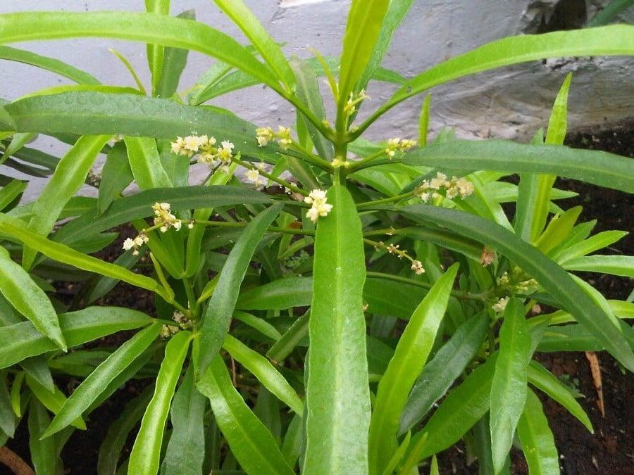 manfaat tanaman zodia
