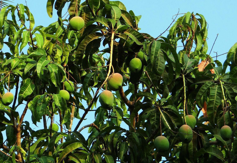 cara menanam pohon mangga