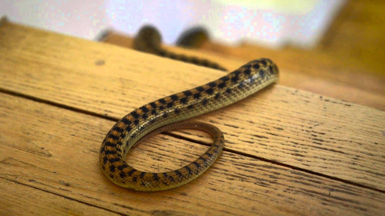 mimpi ular masuk rumah