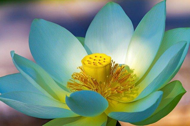 obat nyamuk alami bunga lotus