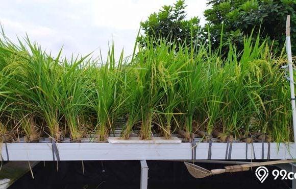 menanam padi teknik hidroganik