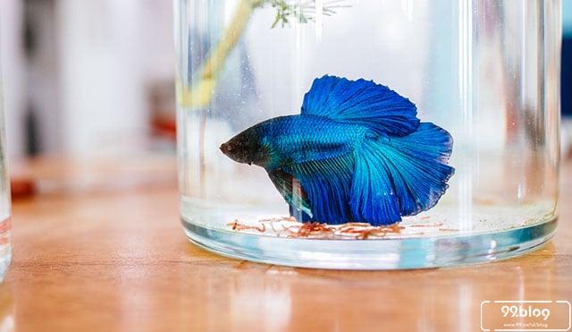 Supaya Cantik & Sehat, Begini 9 Cara Merawat Ikan Cupang yang Benar