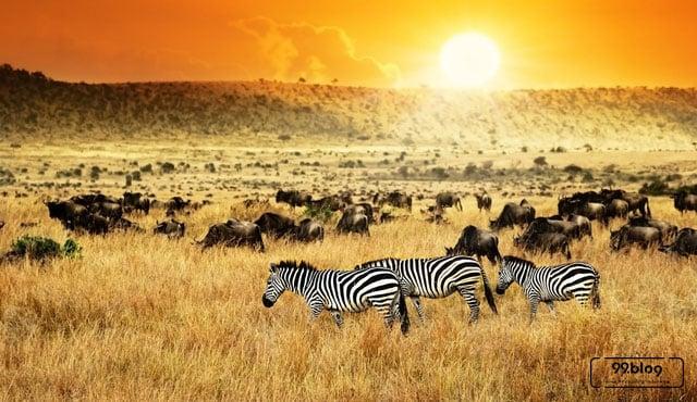 migrasi hewan terjauh