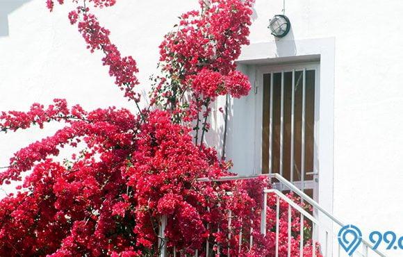 mitos bunga bougenville
