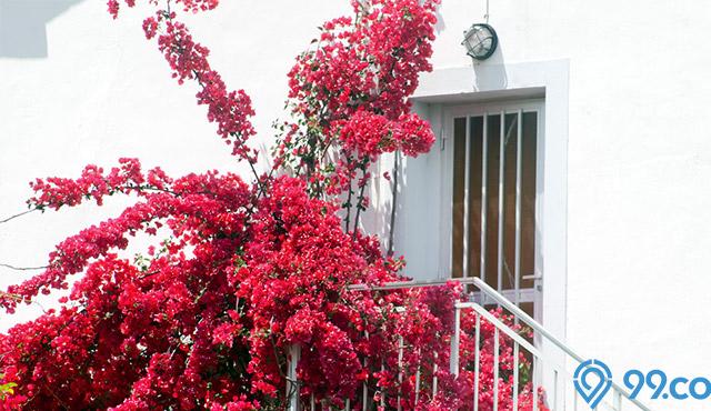 Cantik tapi Membahayakan! Ini Dia 5 Mitos Bunga Bougenville yang Jarang Diketahui