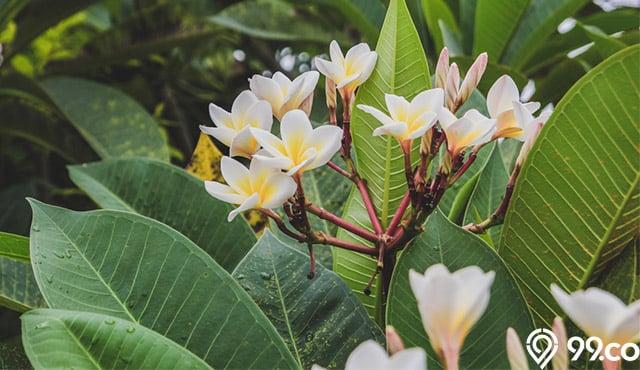 Mitos Bunga Kamboja Di Berbagai Daerah Yang Jarang Orang Tahu
