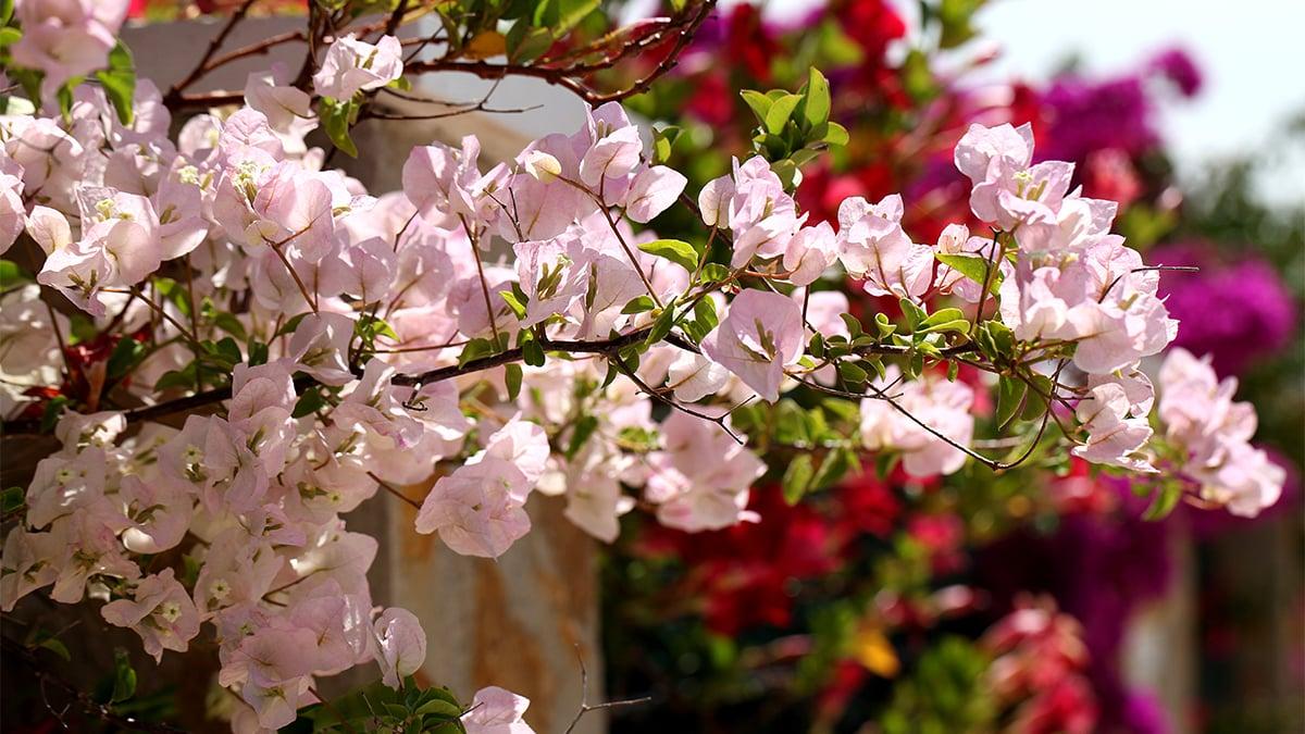 bunga kertas Cherry Blossom