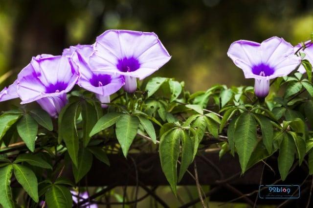 tanaman rambat pagar