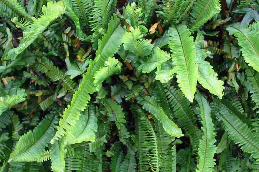 jenis tumbuhan paku
