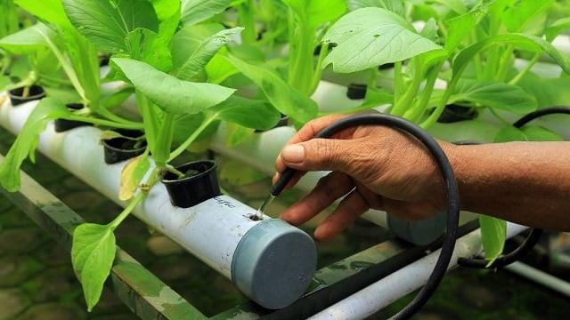 mengatur nutrisi tanaman hidroponik