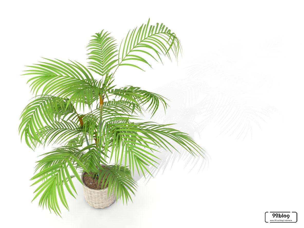 jenis tanaman hias palem bambu