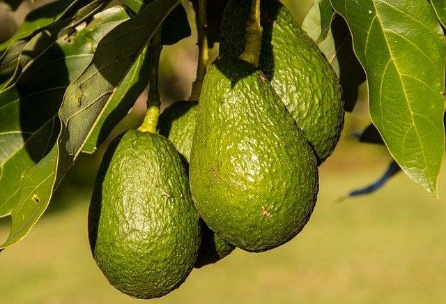 memanen avocado