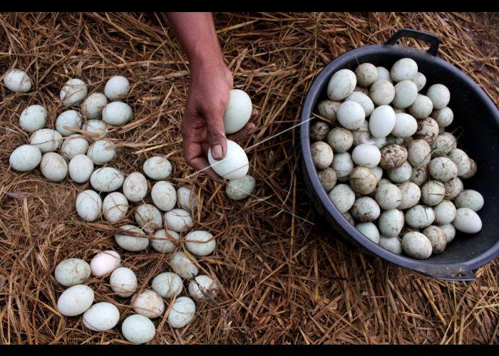 panen telur