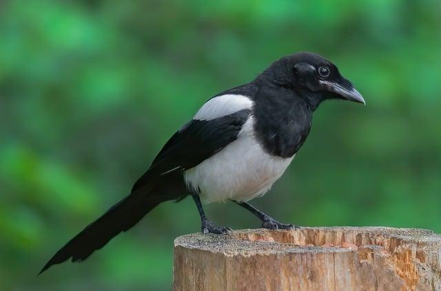 Burung Kacer Betina