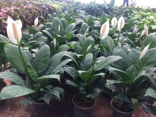 tanaman peace lily di depan rumah