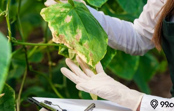 hama penyakit tanaman hias