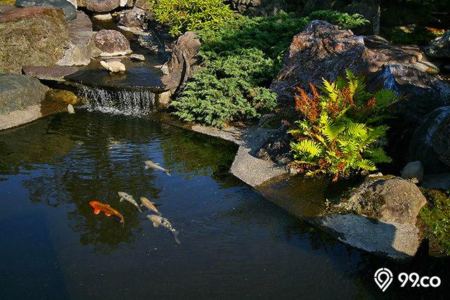 kolam ikan koi alami