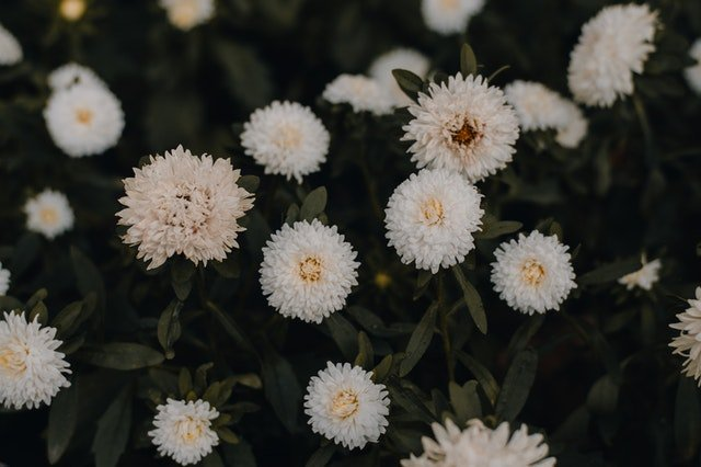 merawat bunga aster