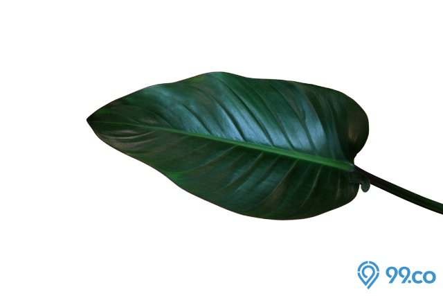 taaman Philodendron