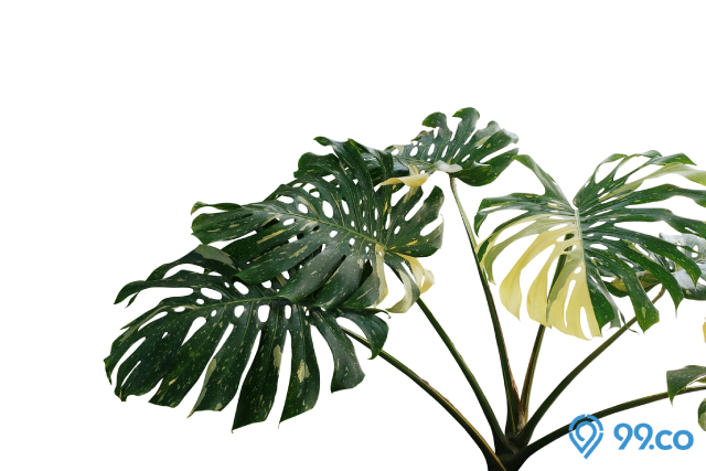 tanaman Philodendron