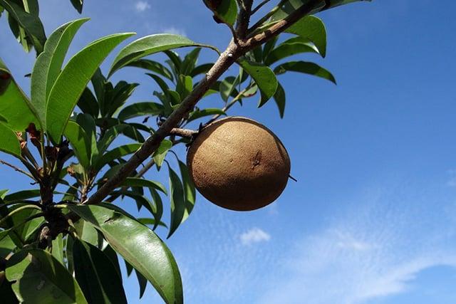 pohon angker buah sawo manila