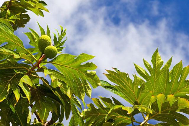 pohon angker buah sukun
