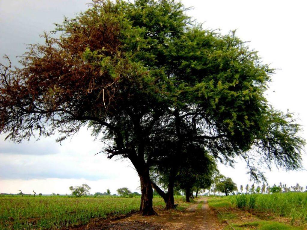 pohon angker pohon asam jawa besar