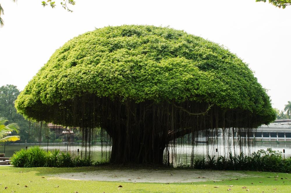 6 Fakta Pohon Beringin Peneduh Halaman Dengan Beragam Mitos