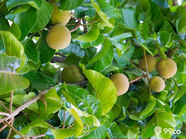 panen buah kecapi