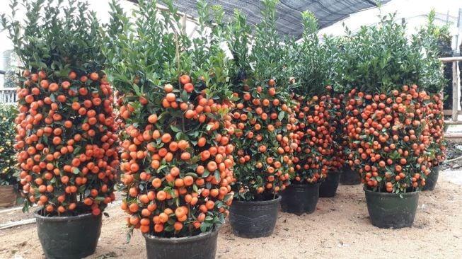 pohon jeruk emas