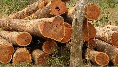 pohon kayu cendana