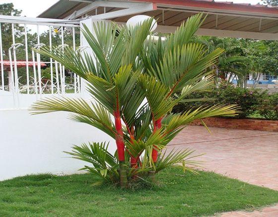 pohon palem hias