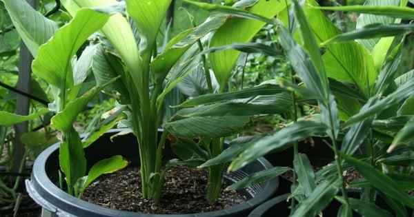 tanaman kunyit dalam pot
