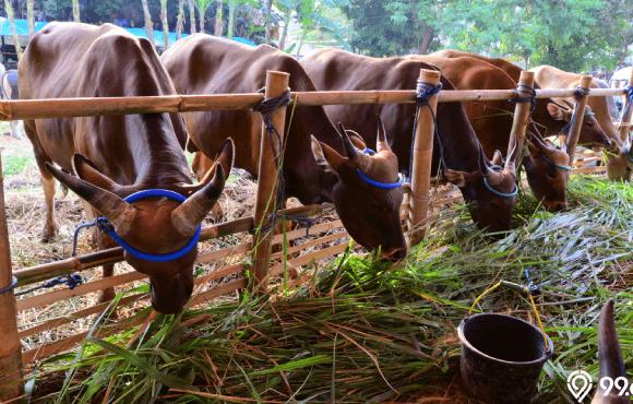 protokol kesehatan penyembelihan hewan kurban saat corona