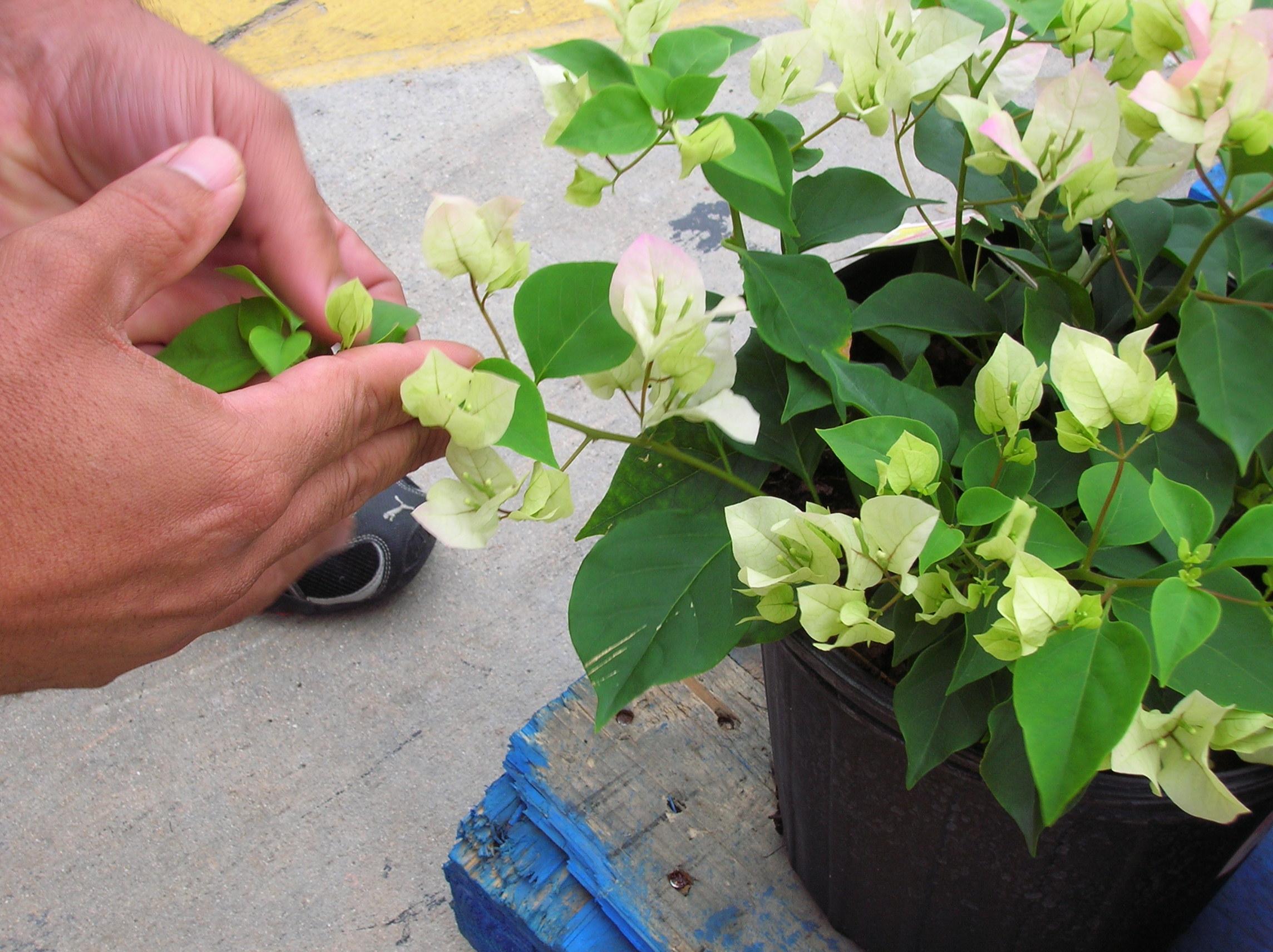 7 Cara Menanam Bunga Kertas Di Rumah Hingga Tumbuh Indah Cara budidaya bunga kertas