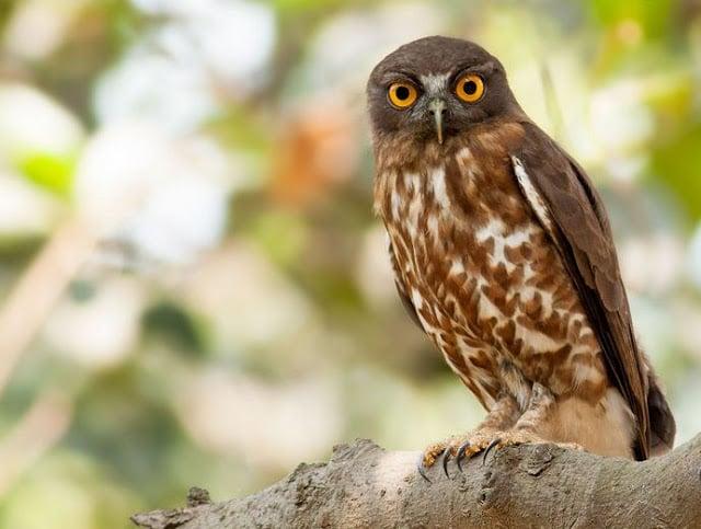 8 Jenis Burung Hantu Asal Indonesia Yang Dapat Dipelihara Tertarik
