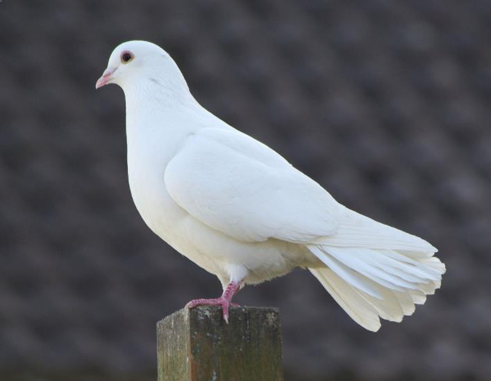 mitos burung merpati putih
